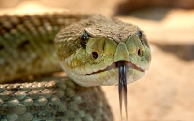 Ep.12: Pit Vipers: Rattlesnakes and more!
